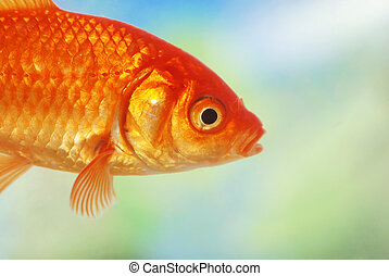 closeup of a gold fish swimming