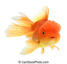 closeup of a goldfish isolated on white background