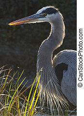 Closeup of a Great Blue Heron - Florida