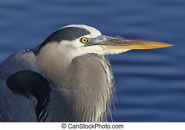 Closeup of a Great Blue Heron - Merritt Island National Wildlife Refuge, Florida