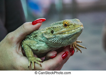 closeup of a green lizard holding in hands switzerland