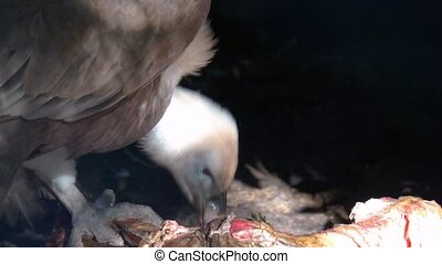 closeup of a griffon vulture eating from a carcass, Scavenger bird from Eurasia