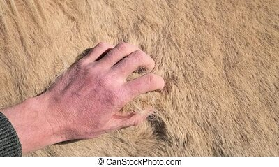 Closeup of a hand touching fur of an Icelandic white horse. Horse is loosing warm winter fur with high insulation coefficient. Spring season and natural changes.