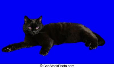 Black cat lying and wags its tail irritably.