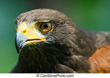 Harris's Hawk - closeup of a Harris's Hawk (Parabuteo ...