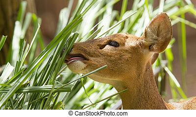 Closeup of a healthy deer eating in a Vietnamese zoo