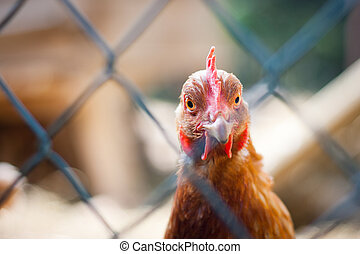 Closeup of a hen (Gallus gallus domesticus)
