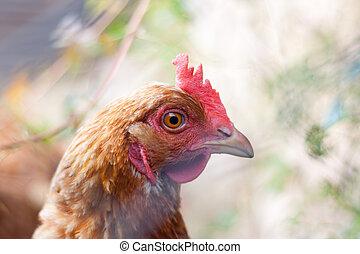 Closeup of a hen (Gallus gallus domesticus)
