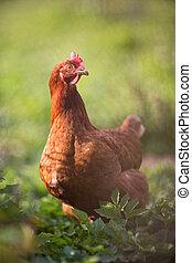 Closeup of a hen in a farmyard (Gallus gallus domesticus)