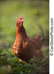Closeup of a hen in a farmyard (Gallus gallus domesticus)