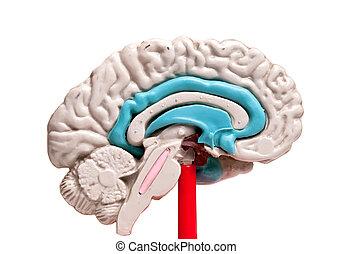 closeup of a human brain model