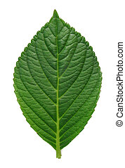 closeup of a Isolated green leave on white background
