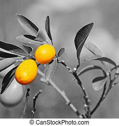 closeup of a kumquat plant with selective desaturation...