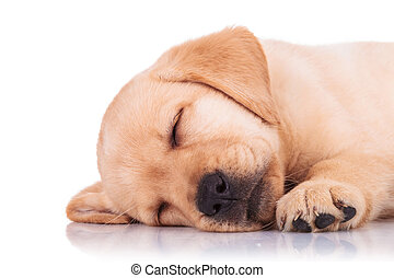 closeup of a labrador retriever puppy dog sleeping