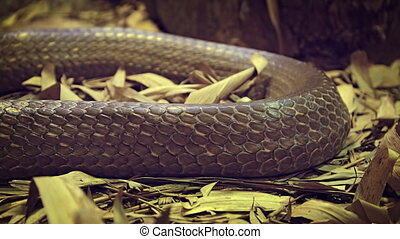 Closeup of a Large Snake with Brown Skin - Single coil of a...