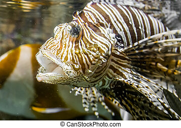 closeup of a lionfish head with open mouth, tropical venomous aquarium pet
