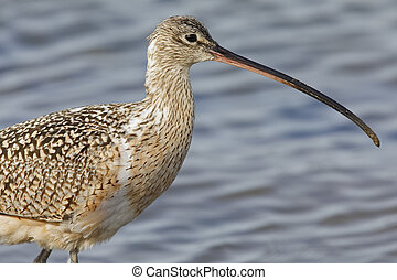 Closeup of a Long-billed Curlew - Monterey Peninsula, ...