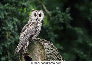 Closeup of a Long-Eared Owl on a tree trunk.