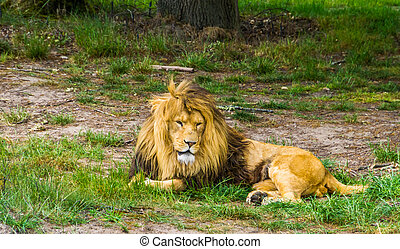 closeup of a male lion laying on the ground, Big wild cat from Africa, Vulnerable animal specie