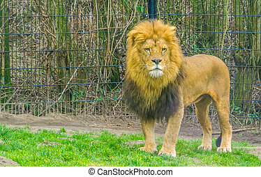 closeup of a male lion standing in the grass, popular zoo animal, Vulnerable animal specie from Africa