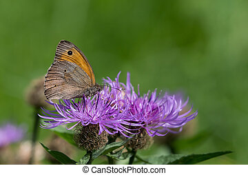 Closeup of a meadow brown butterfly sitting on a flower