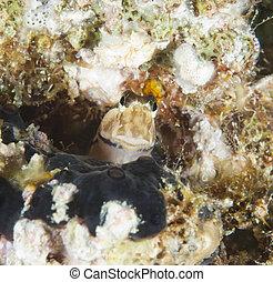 Closeup of a midas blenny on reef