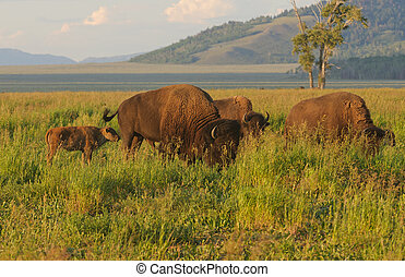 North American Buffalo