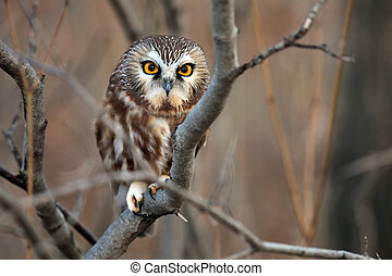 Closeup of a Northern Saw-Whet Owl perching in a Sumac Tree.