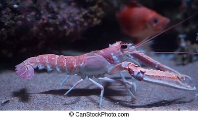 closeup of a norway lobster walking on the bottom of the aquarium, popular pet in aquaculture