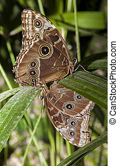 Caligo Memnon mating - Closeup of a pair of beautiful ...