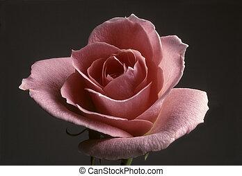 Closeup of a peach colored rose