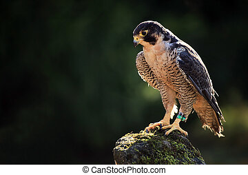 Peregrine Falcon - Closeup of a Peregrine Falcon that nested...
