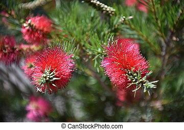 Closeup of a pink bottle brush. Native australian flower ...