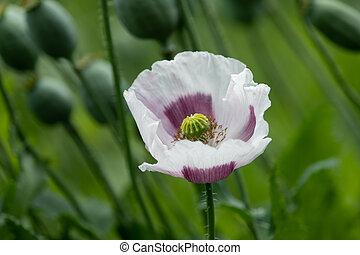 Closeup of a poppy flower in summer