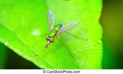 Closeup of a Predatory Long Legged Fly Eating Another Insect