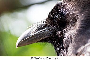 Closeup of a raven
