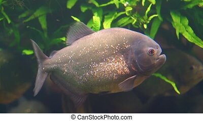 closeup of a red bellied piranha swimming in the aquarium, tropical fish with golden glittering scales, beautiful ornamental pet, exotic fish specie from the amazon basin