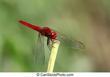 red dragonfly on the tree branch