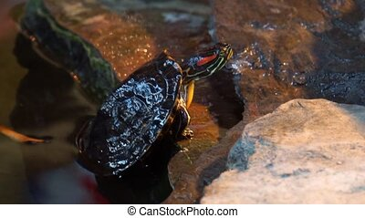 Closeup of a red eared slider turtle climbing ashore, ...
