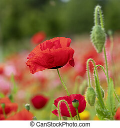 Closeup of a red poppy flower and buds in a garden