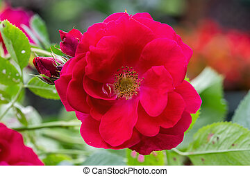 Closeup of a red rose flower