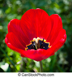 closeup of a red tulip
