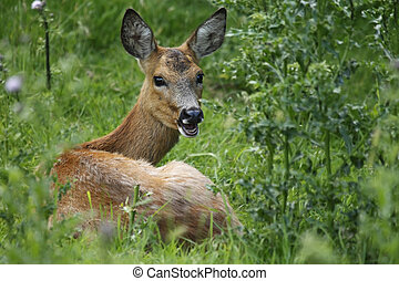 Closeup of a Roe Deer laying in the grass and turning her head to look at the camera.