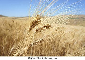Closeup of a rye in a field