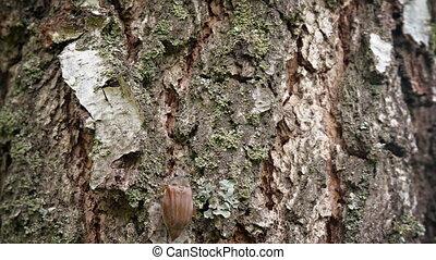 Closeup of a Scarab Beetle Climbing up a Tree Trunk -...