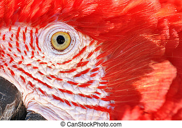 Closeup of a Scarlet Macaw