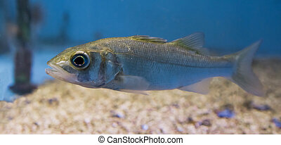 closeup of a silver juvenile sea bass, portrait of a young...
