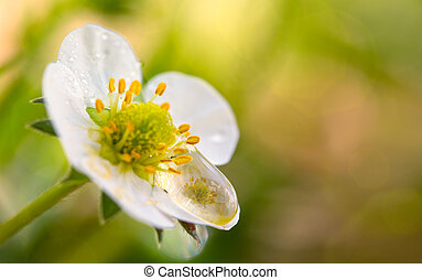 Closeup of a single strawberry blossom and water drop.