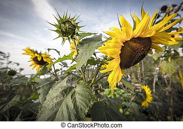 closeup of a sunflower in summer