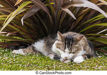 tabby cat licking its paw in garden